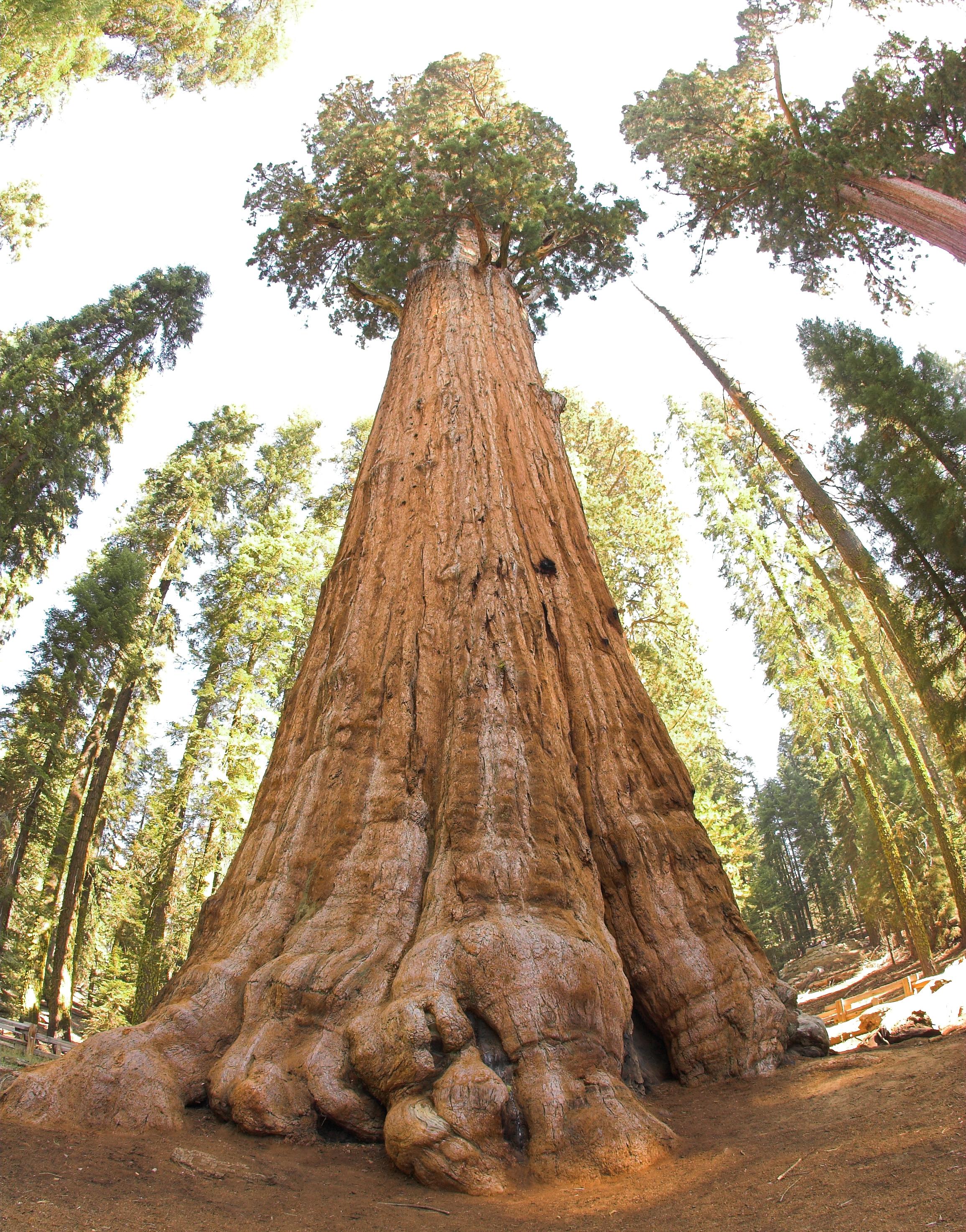 Plus Vieil Arbre Du Monde : vieil, arbre, monde, Séquoia, Géant, Wikipédia