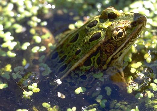 Adult leopard frog