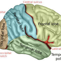 Left Side Brain Functions Diagram Volcano Coloring Page Lobes Of The Wikipedia Lobescaptslateral Png