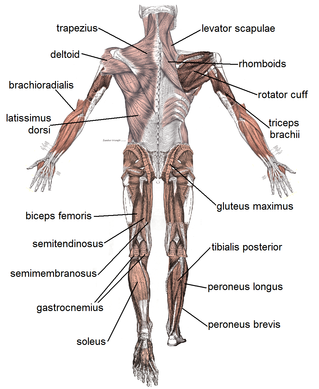 major muscle diagram to label wiring 4 pin trailer harness file posterior labeled png wikimedia commons