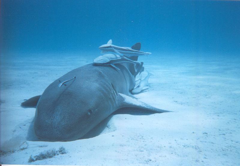 File:Nurse shark with remoras.jpg