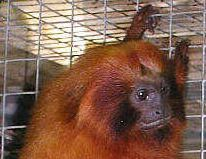 English: cropped v of File:Tamarin.monkey.500p...