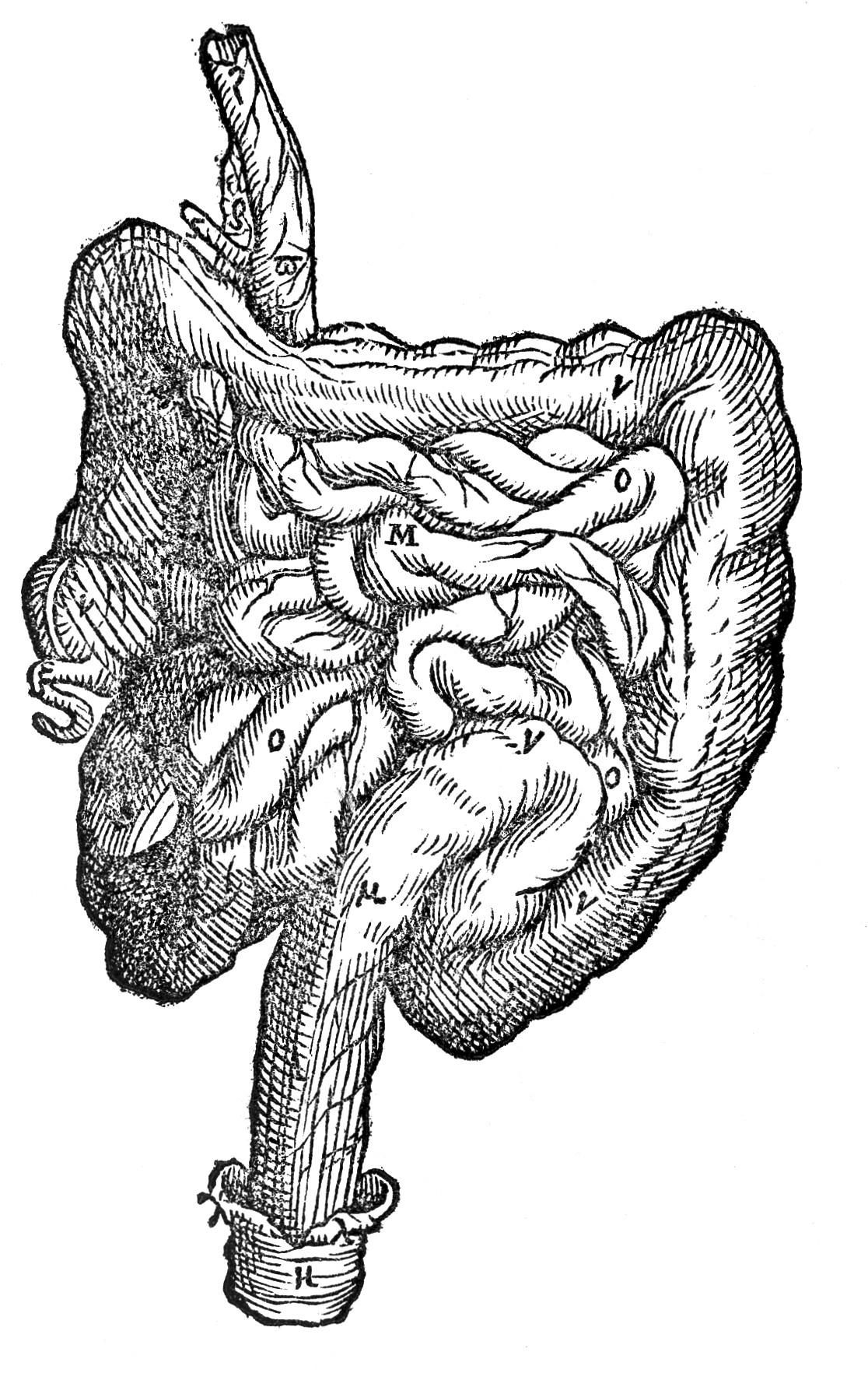 File Vesalius Suorumde Humani Intestines Wellcome
