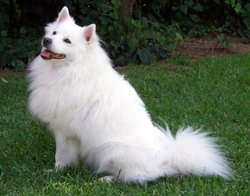 small resolution of american eskimo dog jpg