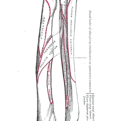 Outside Tendon Hand Diagram Trailer Wiring Diagrams 4 Way Systems Extrinsic Extensor Muscles Of The - Wikipedia