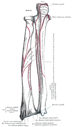 Extrinsic extensor muscles of the hand  Wikipedia
