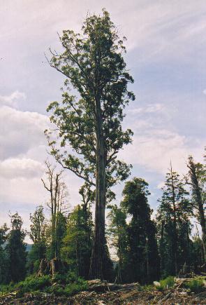 Tasmania, Styx valley. This Eucalyptus regnans...