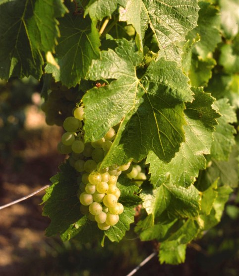 wine chardonnay grapes, brief history of time and wine