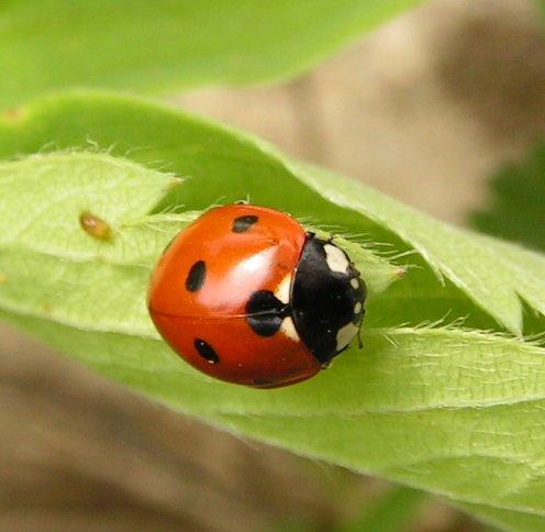 ladybird - Wiktionary