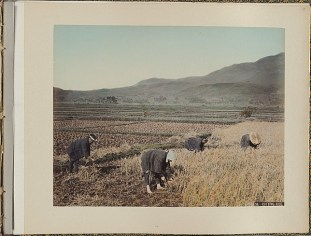 Image of farm workers harvesting a rice crop by hand