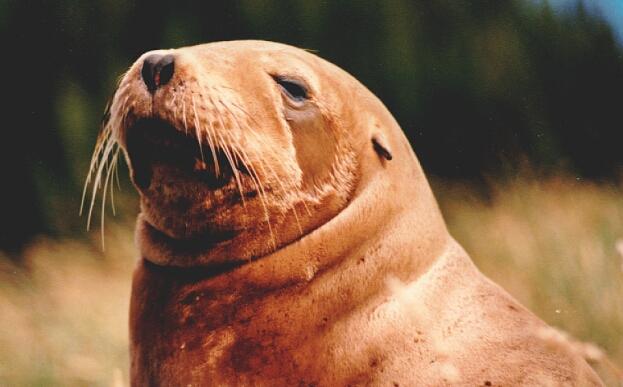 Lion de mer de NouvelleZlande  Wikipdia