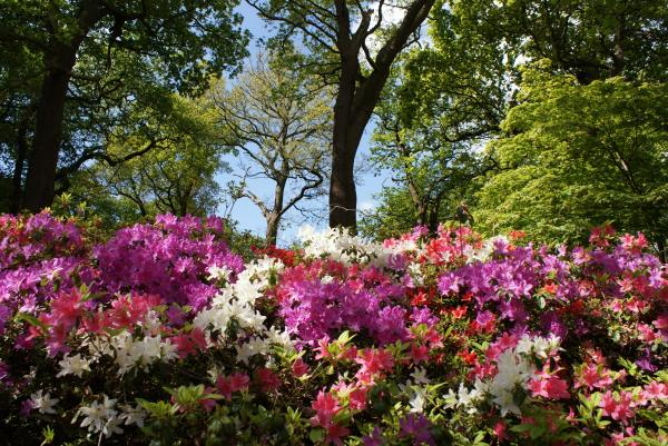 azaleas in landscape isabella
