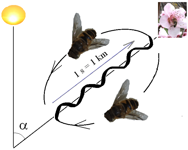 Waggle dance of the honey bee