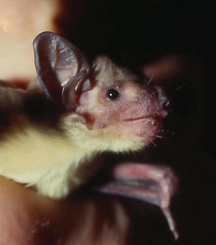 African yellow bat  Wikipedia