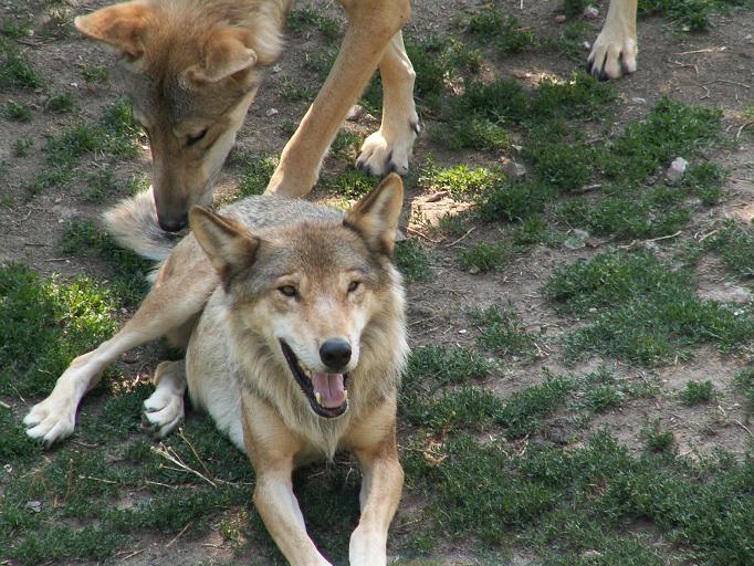 Due esemplari di lupo appenninico.