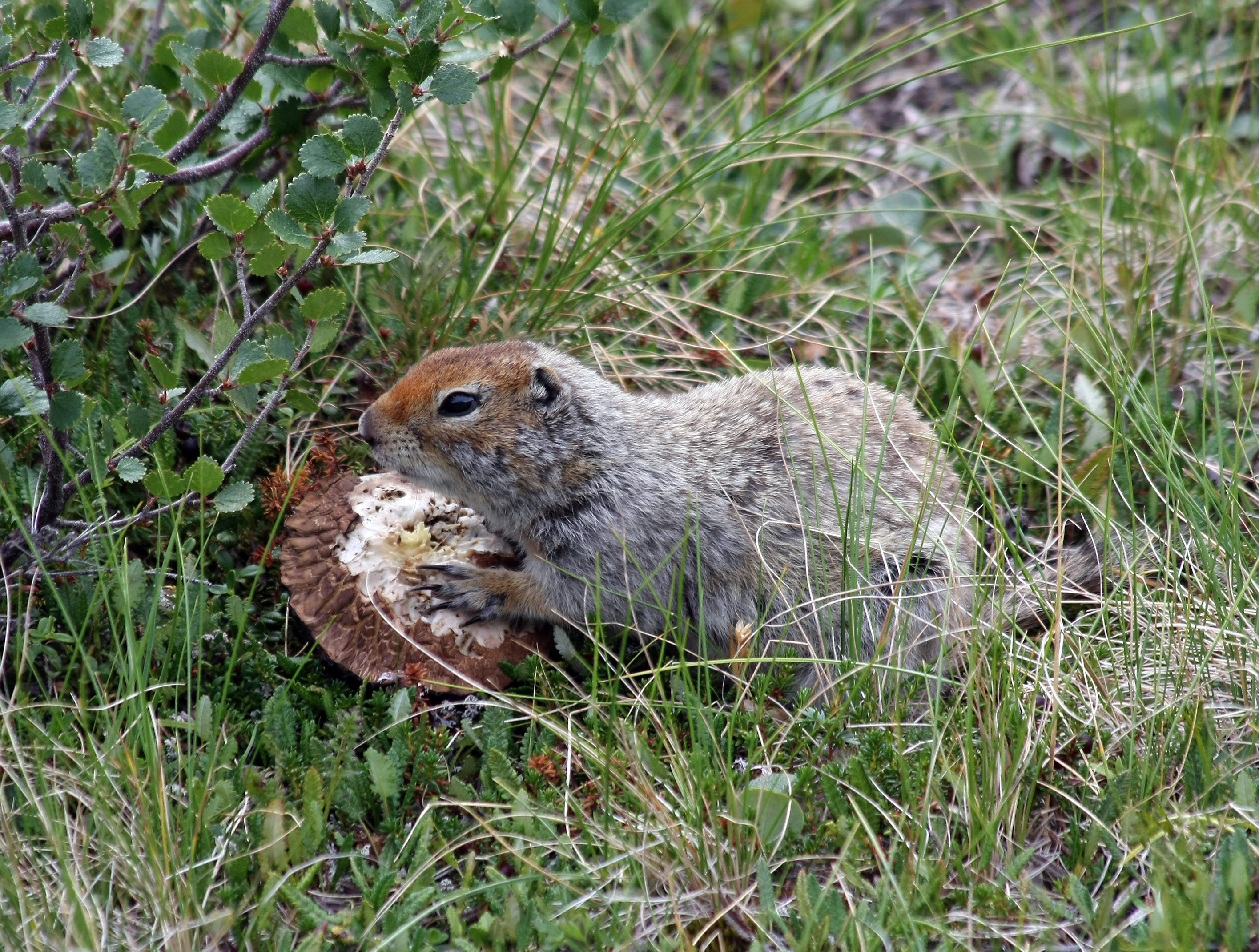 arctic ground squirrel wikipedia