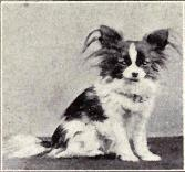 Papillon from 1915