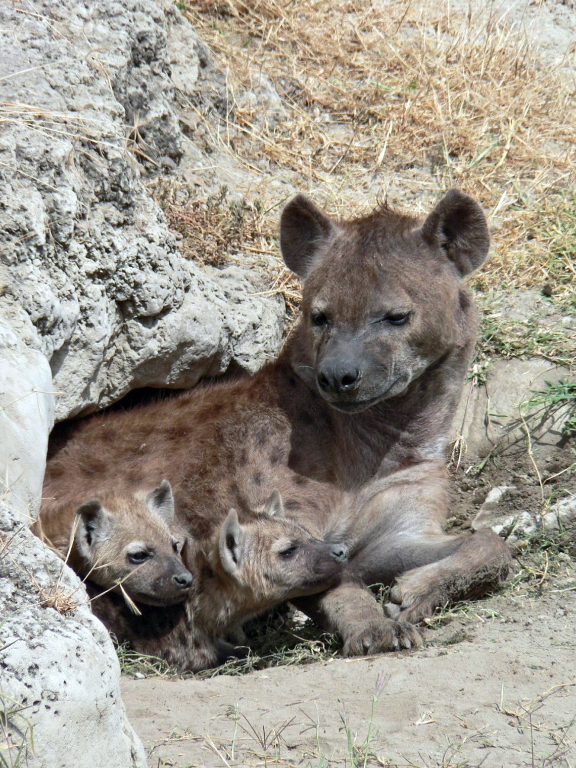 Spotted Hyena and young in Ngorogoro crater Pitbull Dog Info