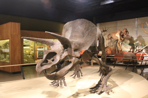 File Triceratops Cleveland Museum Of Natural - Wikimedia Commons