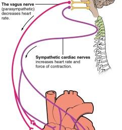 nerve supply [ 1029 x 2071 Pixel ]