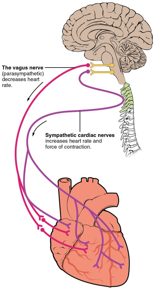 small resolution of nerve supply