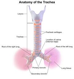 trachea [ 2800 x 3000 Pixel ]