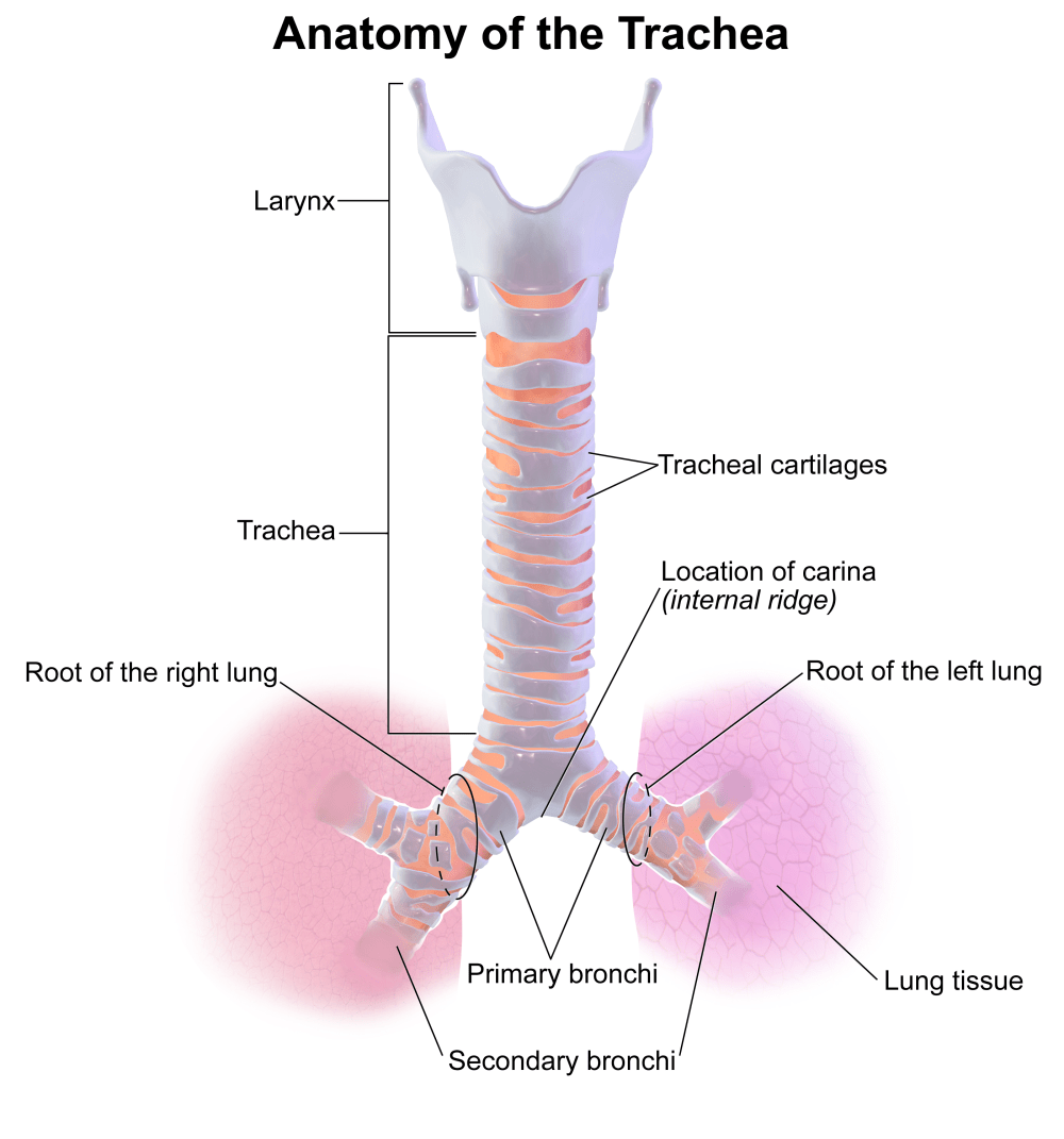 medium resolution of trachea