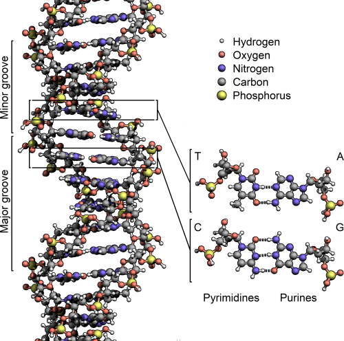 small resolution of diagram of nucleotide gene dna double helix chromosome