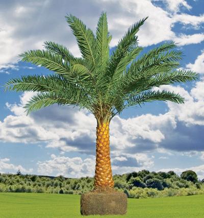 palmiye  Wiktionary