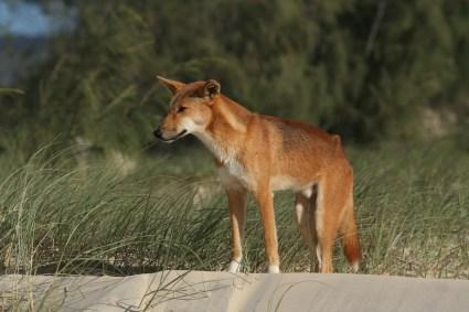 Le chien sauvage, le dingo, prédateur venu d'outre-mer