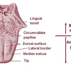 Diagram Of The Nose And Its Functions Mk4 Jetta Stereo Wiring Lingual Tonsils - Wikipedia
