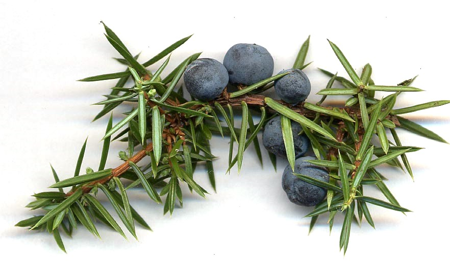 Juniper berries malaysia diabetes supplies glucose