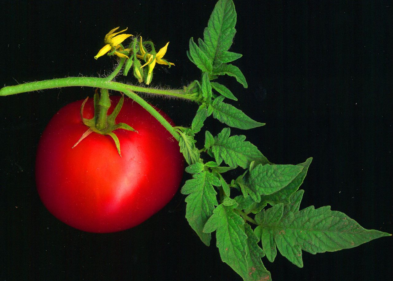 A Beautiful Tomato with Flowers - Smarter than GIStemp