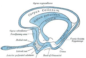 Olfactory tract  Wikipedia