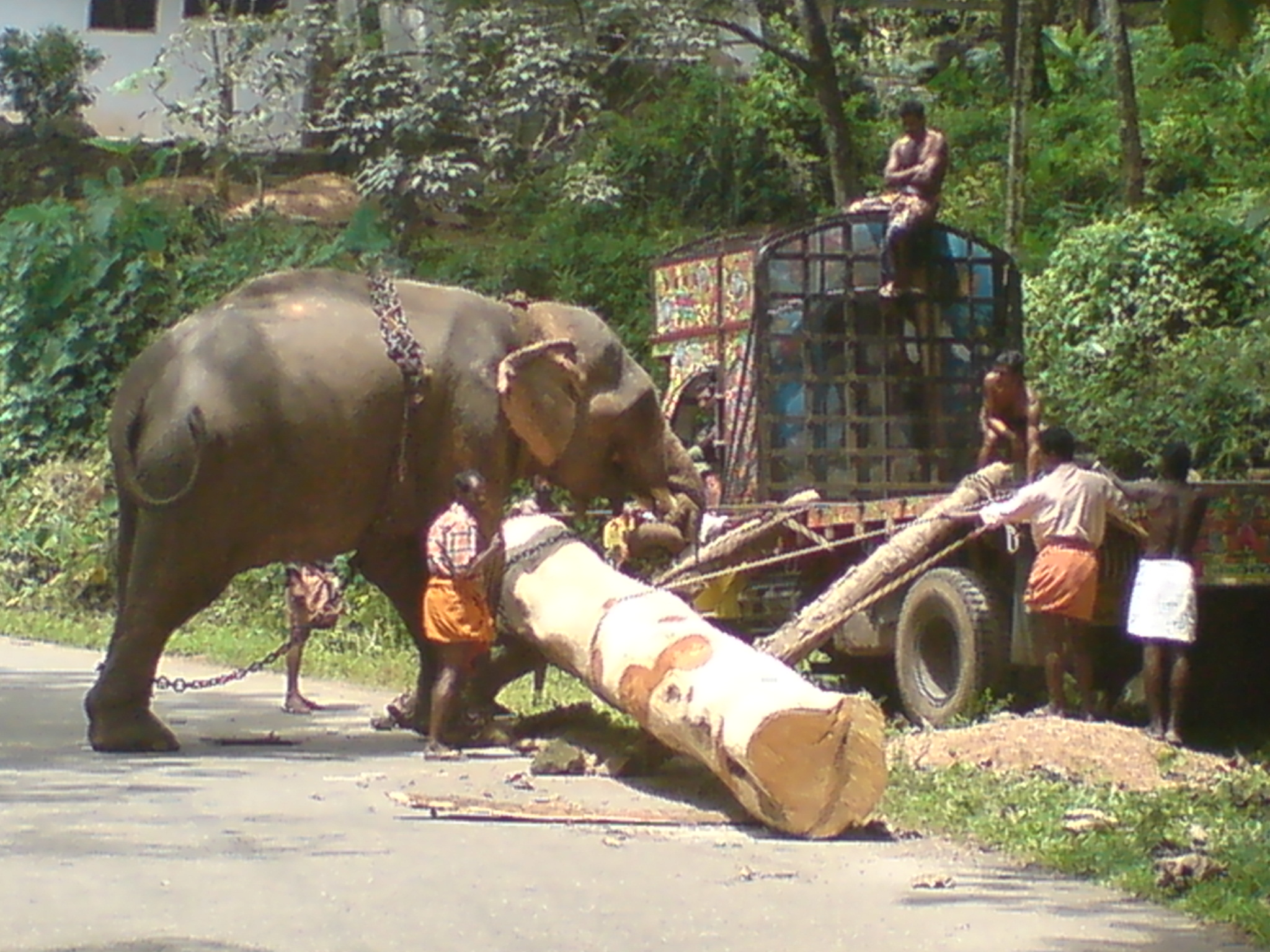 File Indian Elephant Used For Work