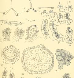 file the embryology and development of riccia lutescens and riccia crystallina 1906 14596117340 jpg [ 2572 x 4112 Pixel ]