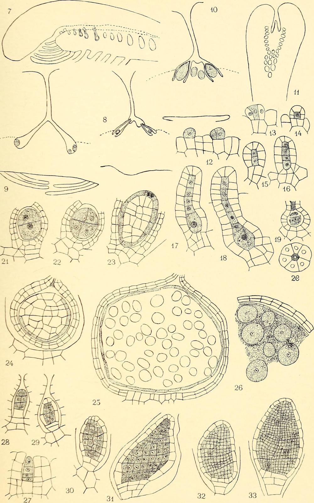 medium resolution of file the embryology and development of riccia lutescens and riccia crystallina 1906 14596117340 jpg