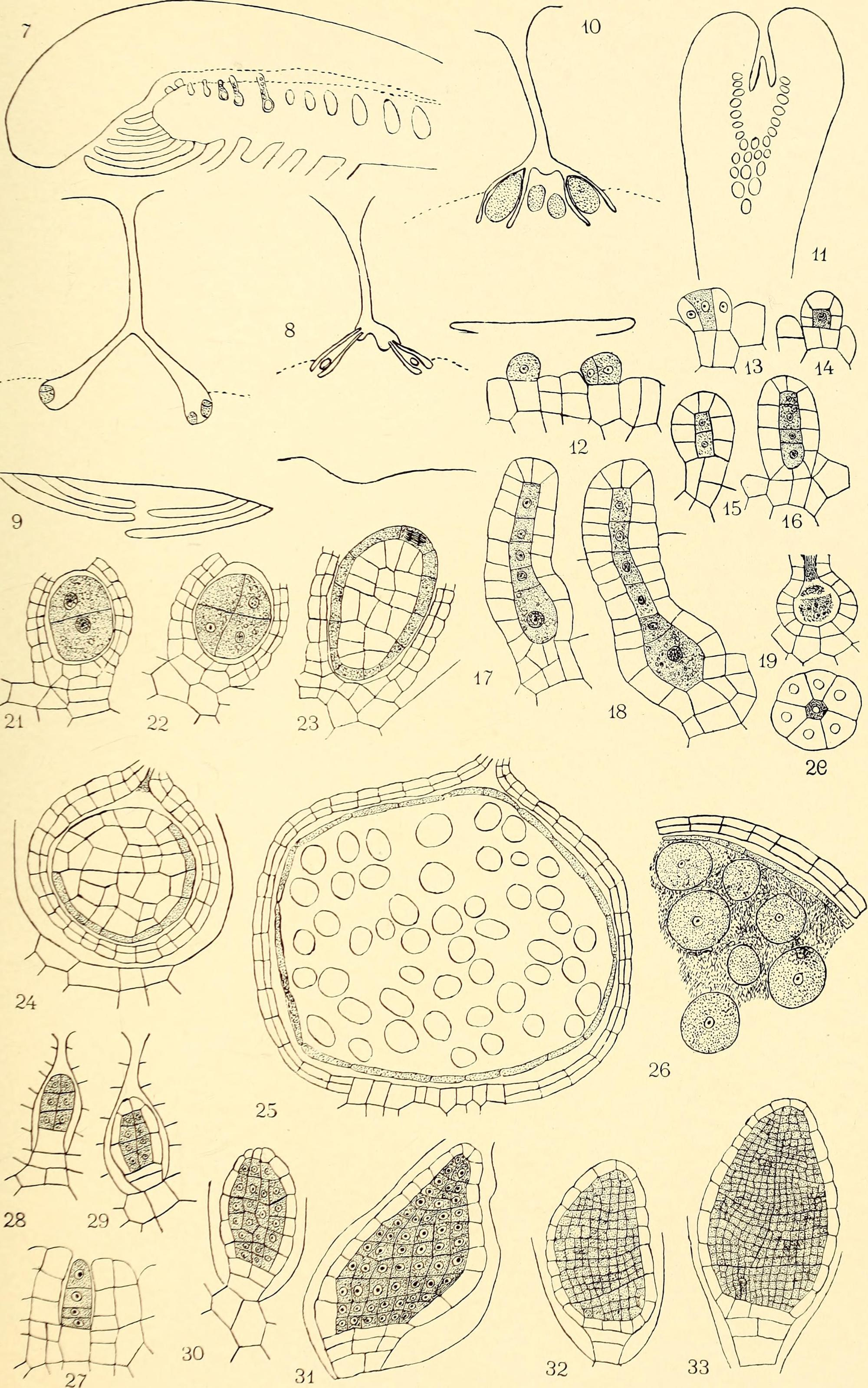 hight resolution of file the embryology and development of riccia lutescens and riccia crystallina 1906 14596117340 jpg
