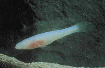 Ozark cavefish  Wikipedia
