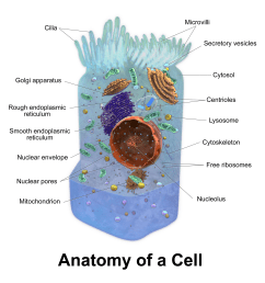animal cell model diagram project parts structure labeled coloring and plant cell organelles cake parts of an animal cell animal cell model diagram project  [ 1600 x 1676 Pixel ]