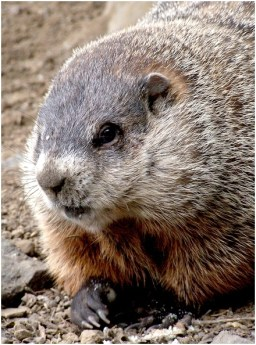 Closeup groundhog