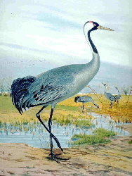 English: Crane