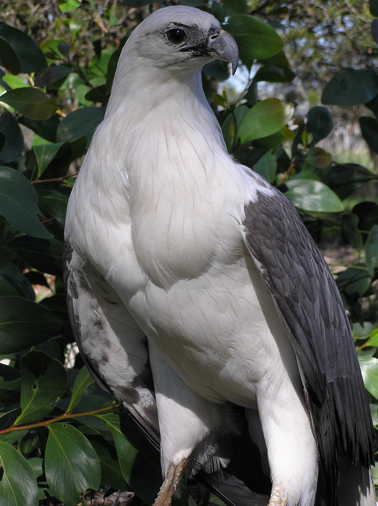 Whitebellied sea eagle  Wikiwand