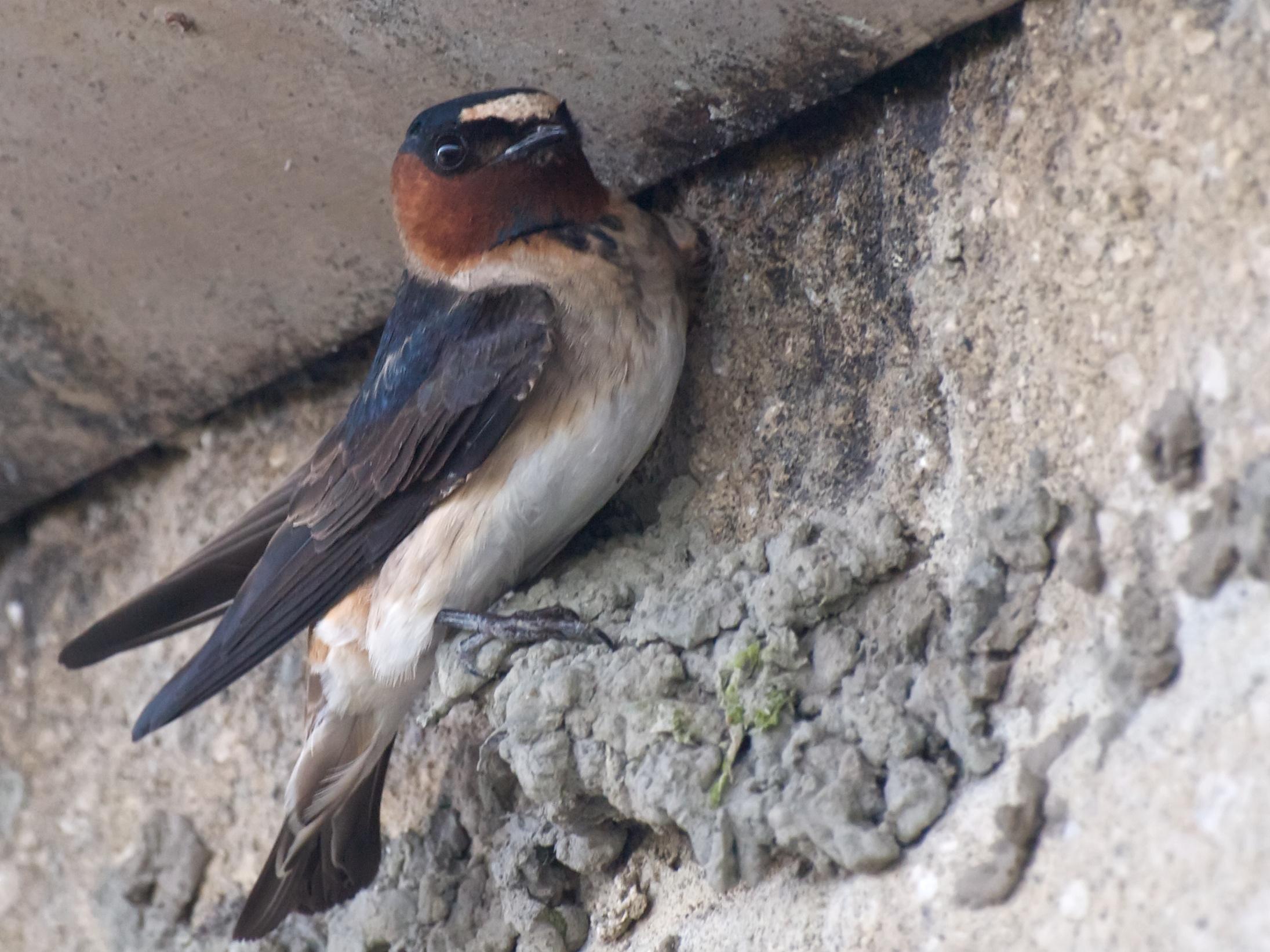 Swallow nesting in Capistrano