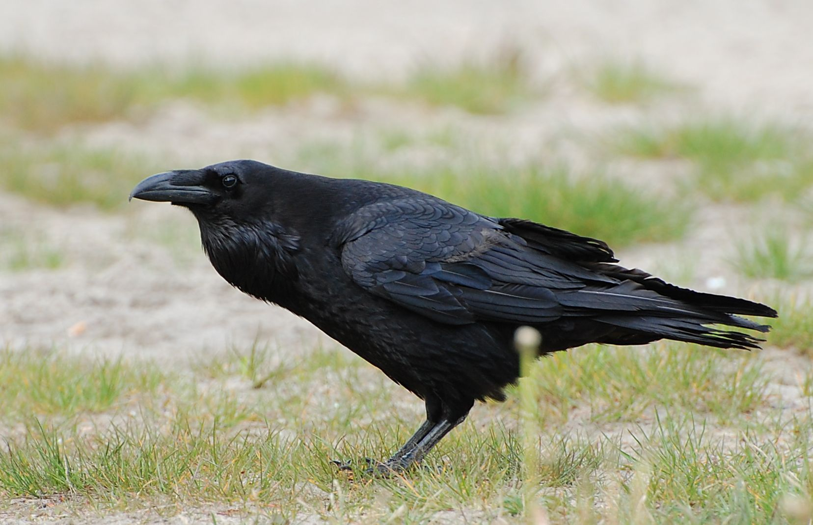 Common Raven  Christopher Martin Photography
