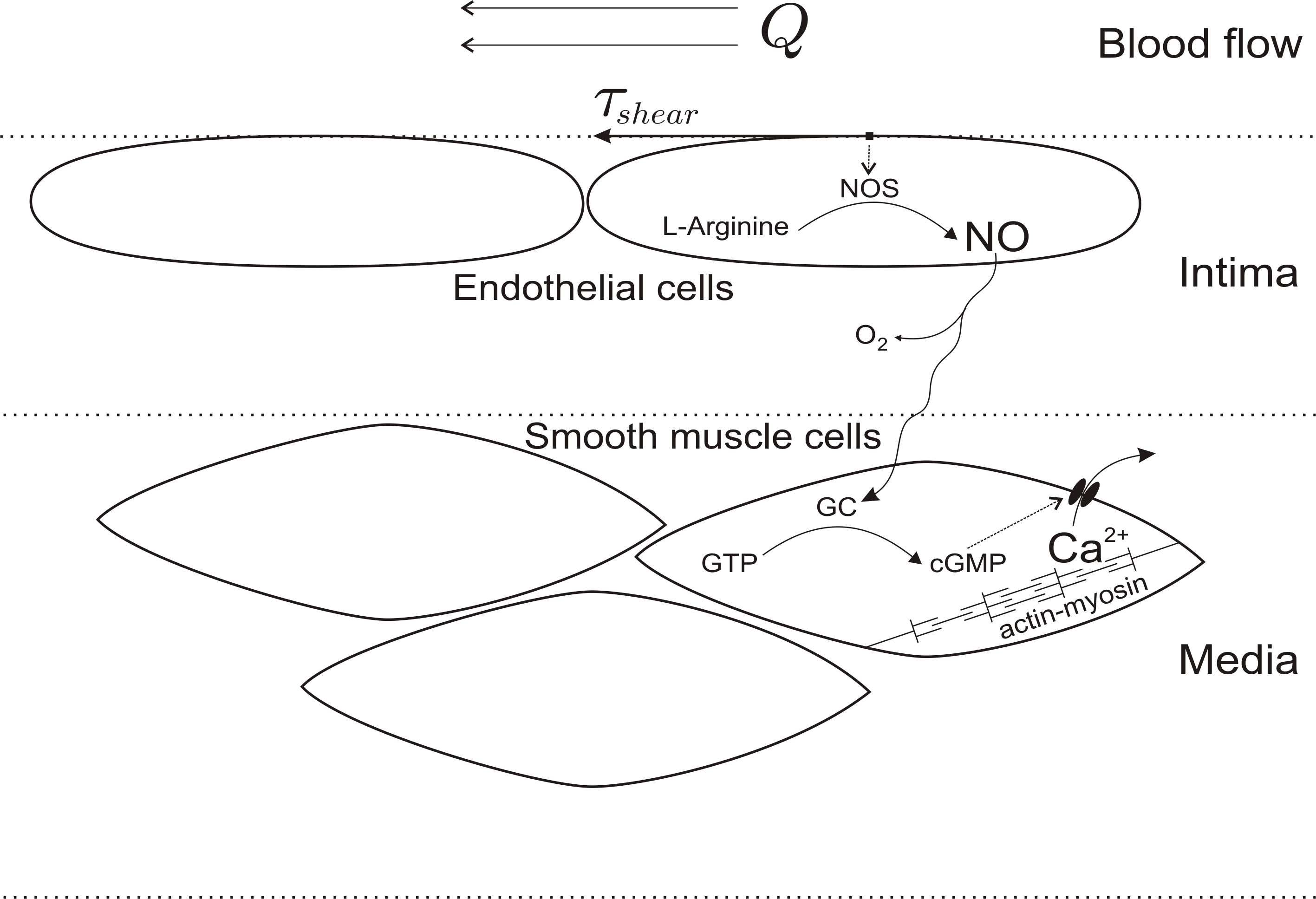 Biological Functions Of Nitric Oxide