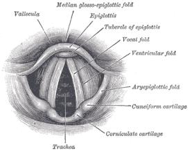 Stimmaparat aus Gray's Anatomy / Quelle: Wikimedia