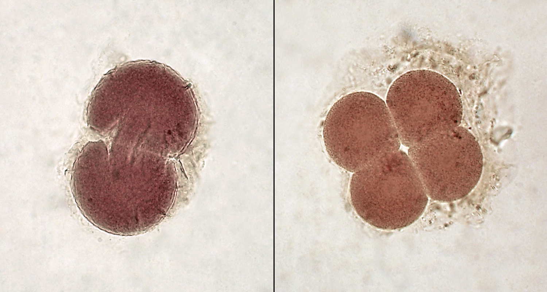 Embryonen in 2 und 4 Zellstadium
