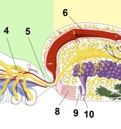file spider anatomy blood png [ 1454 x 802 Pixel ]