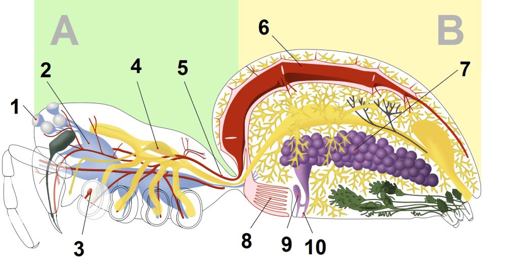 medium resolution of file spider anatomy blood png